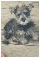Murphy, the Schnauzer who inspired a blog.