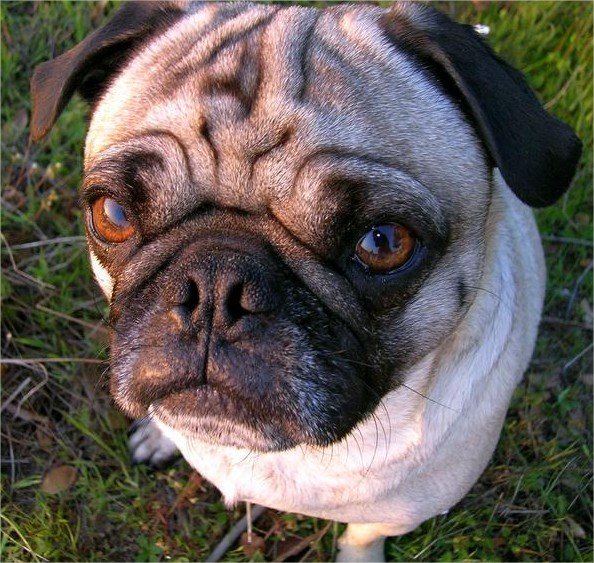 The Cruel Cost of Extreme Dog Breeding - WhoWhatWhy