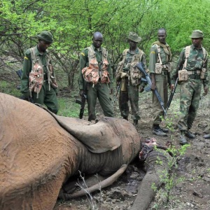 Kenya Wildlife Service rangers with carcass of elephant. Photo by AFP.