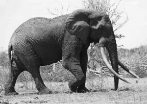 Satao, a legendary Kenyan bull elephant killed in May for his enormous tusks. Photo by TsavoTrust.org