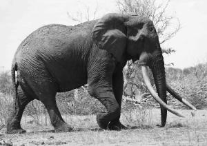 Satao, a legendary Kenyan bull elephant killed in May for his enormous tusks. Photo by TsavoTrust.org