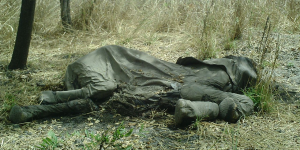 The carcass of an elephant killed for its ivory in Cameroon