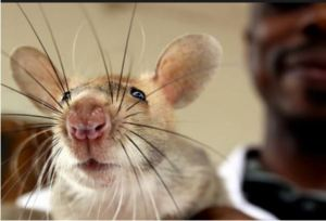 Hero rats sniff out tuberculosis