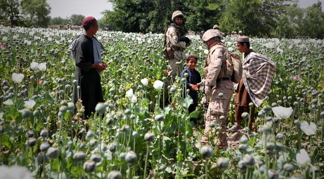 Opium poppies in Helmand