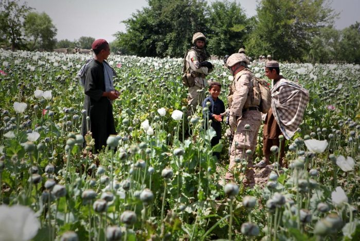Opium poppies in Helmand