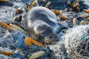 Hawaiian monk seal, ocean, plastic