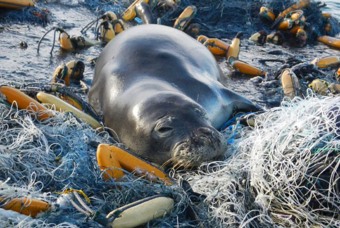 Hawaiian monk seal, ocean, plastic