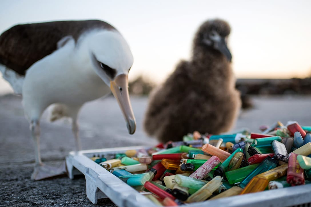 Albatross, plastic, beach