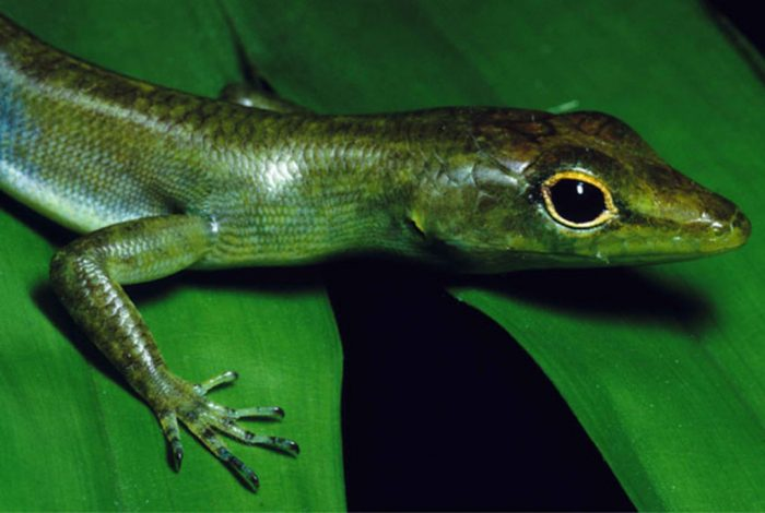 Green Blooded Skink