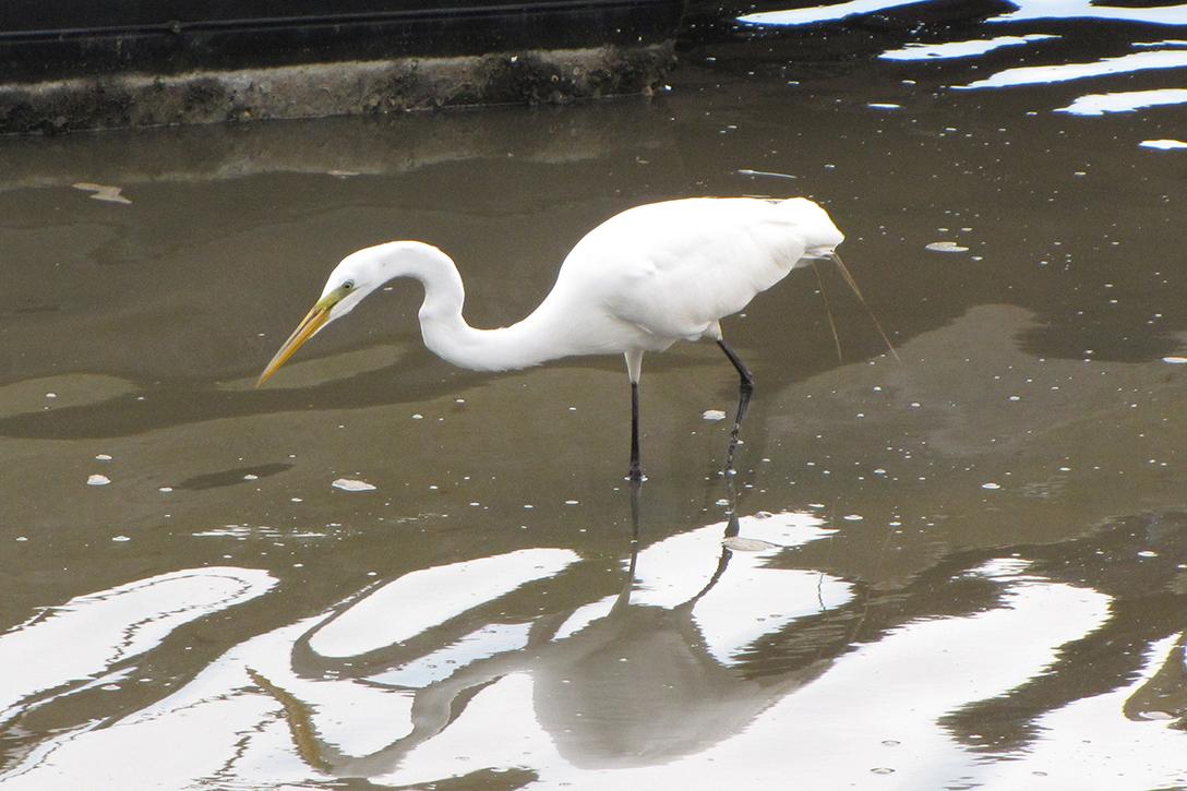 Egret, Cape Fear Basin