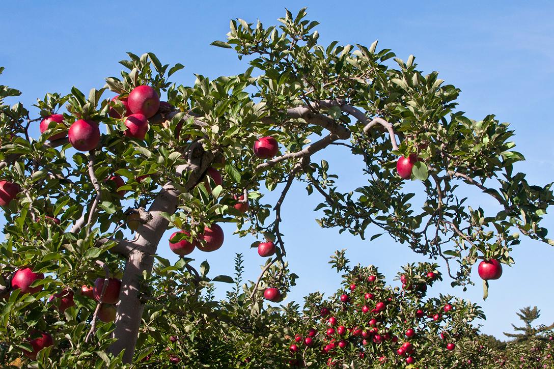 apple, orchard