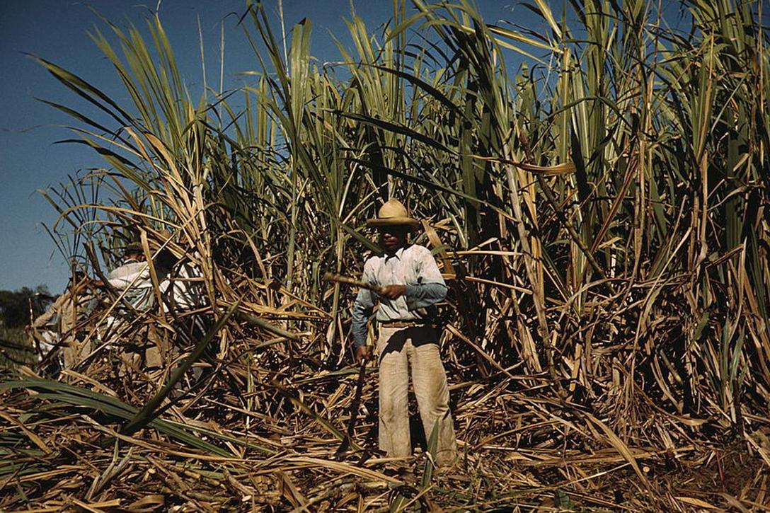 Sugar cane worker, Puerto Rico