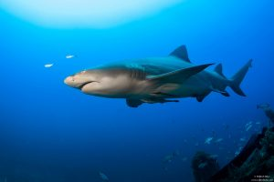 shark, Florida