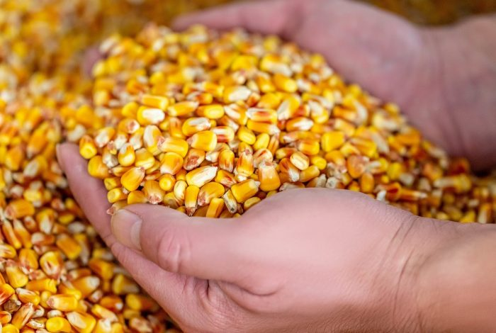Corn, Hands, Hands holding corn, Organic, Organic food