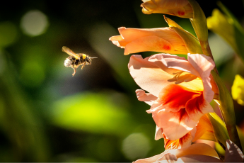 bumblebees, loss, climate change