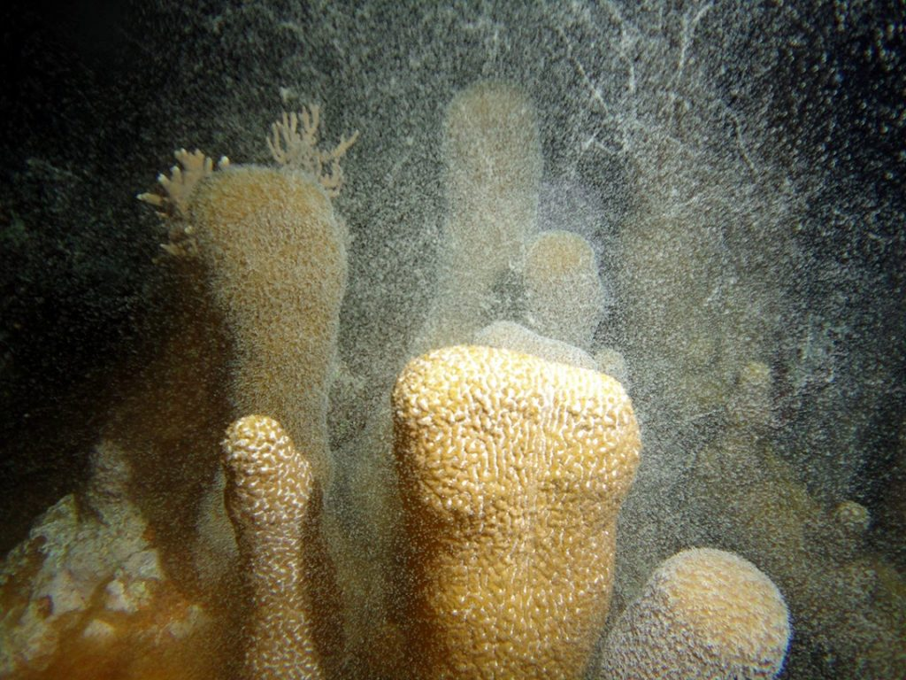female pillar coral, spawning