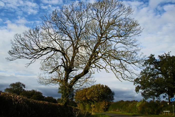 ash trees, deadly beetle, genes