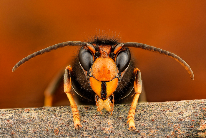 Asian hornet, US agriculture, Washington State