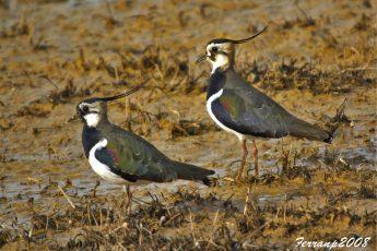 climate change, bird breeding, species threat
