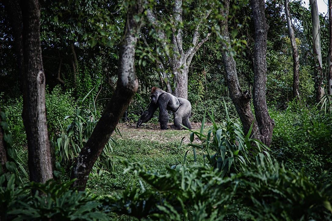 Gorilla, Africa
