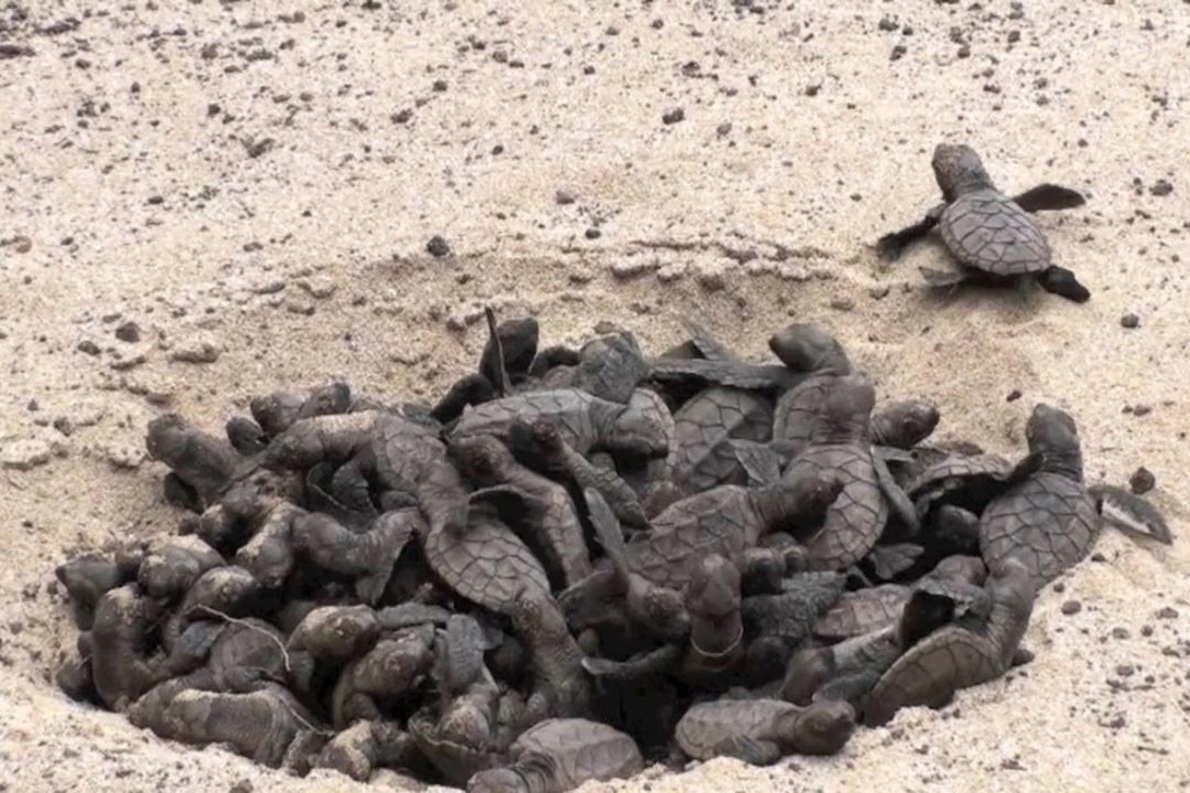 Newly hatched Hawksbill turtles