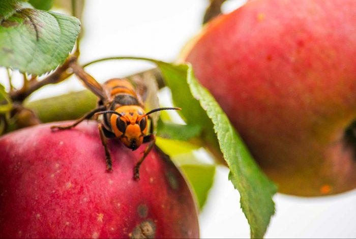 murder hornets, Washington State, nest destroyed, honeybee threat