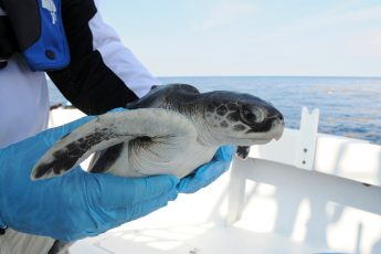 Kemp's ridley sea turtles, endangered, air rescue, Cape Cod, New Orleans