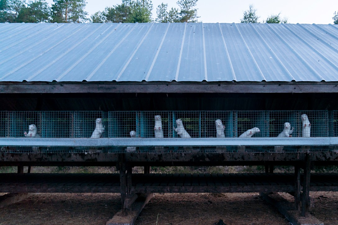 Caged Minks at a Fur Farm in Nykarleby, Finland