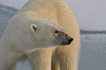 climate change, polar bears, extinction, Antarctica