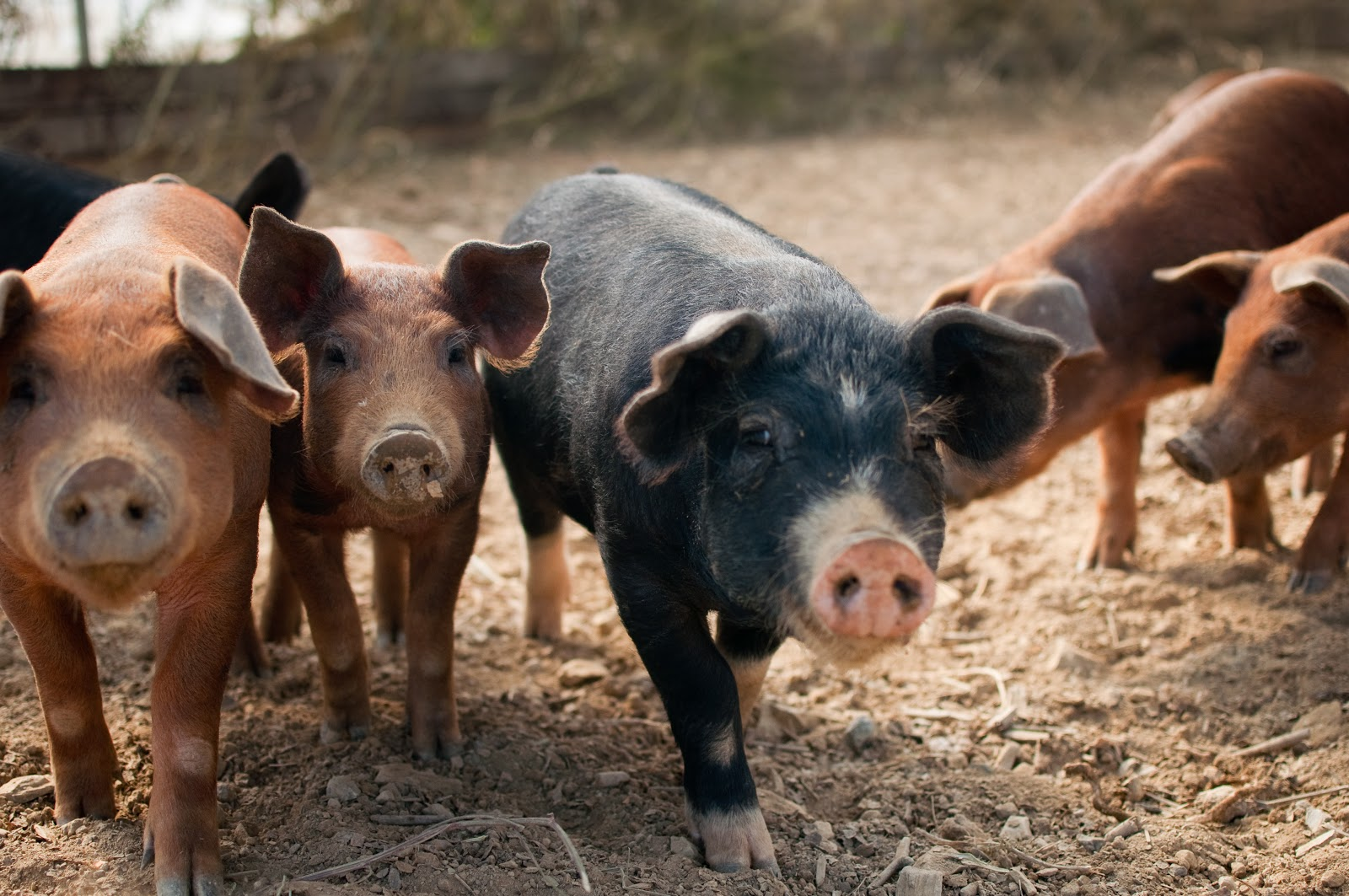 Pigs, Polyface Farm