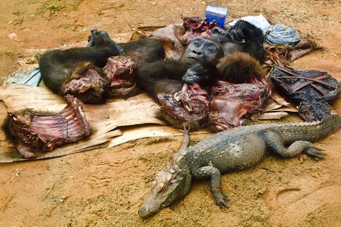 bushmeat, West Africa