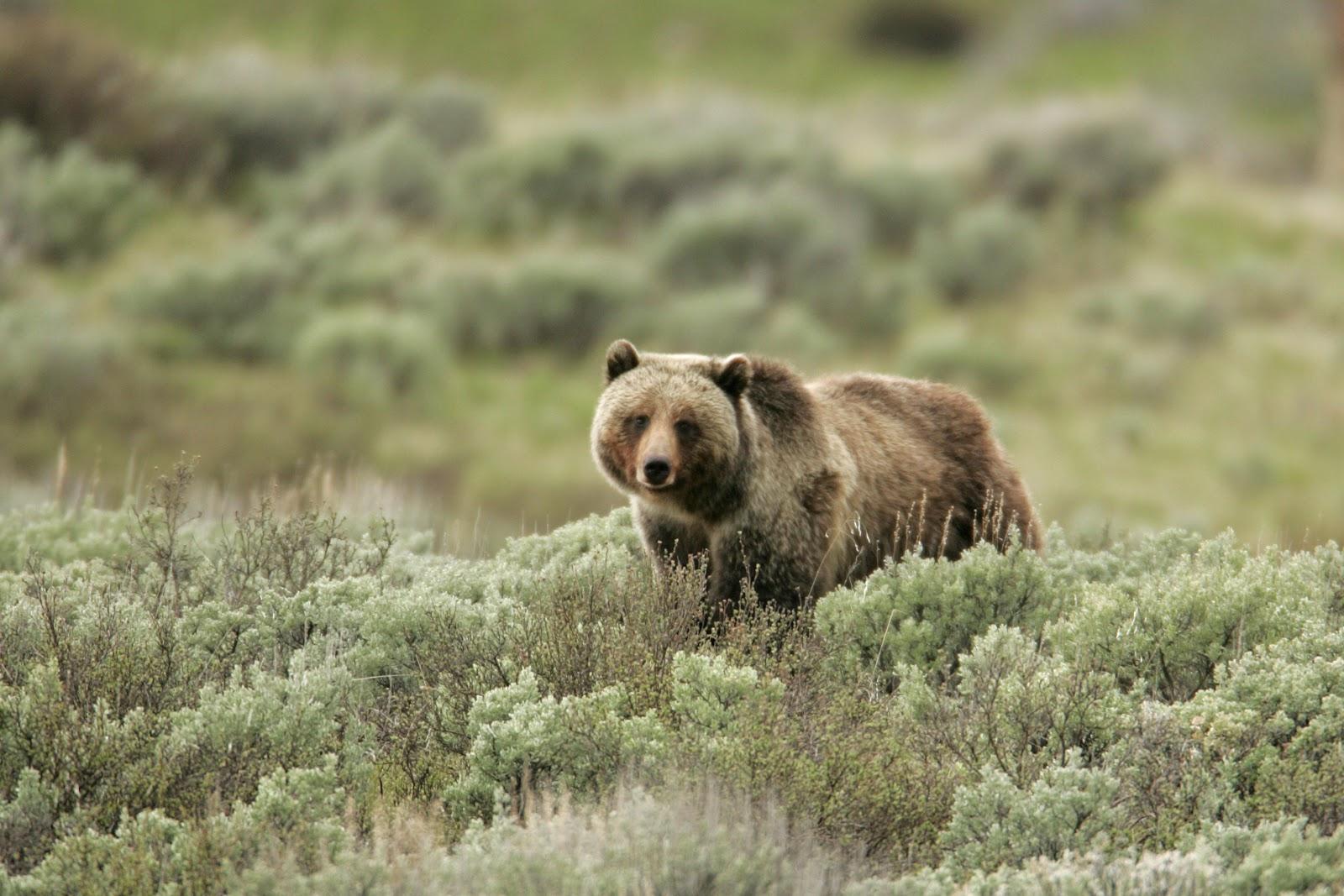 Grizzly bear, Swan Lake Flats