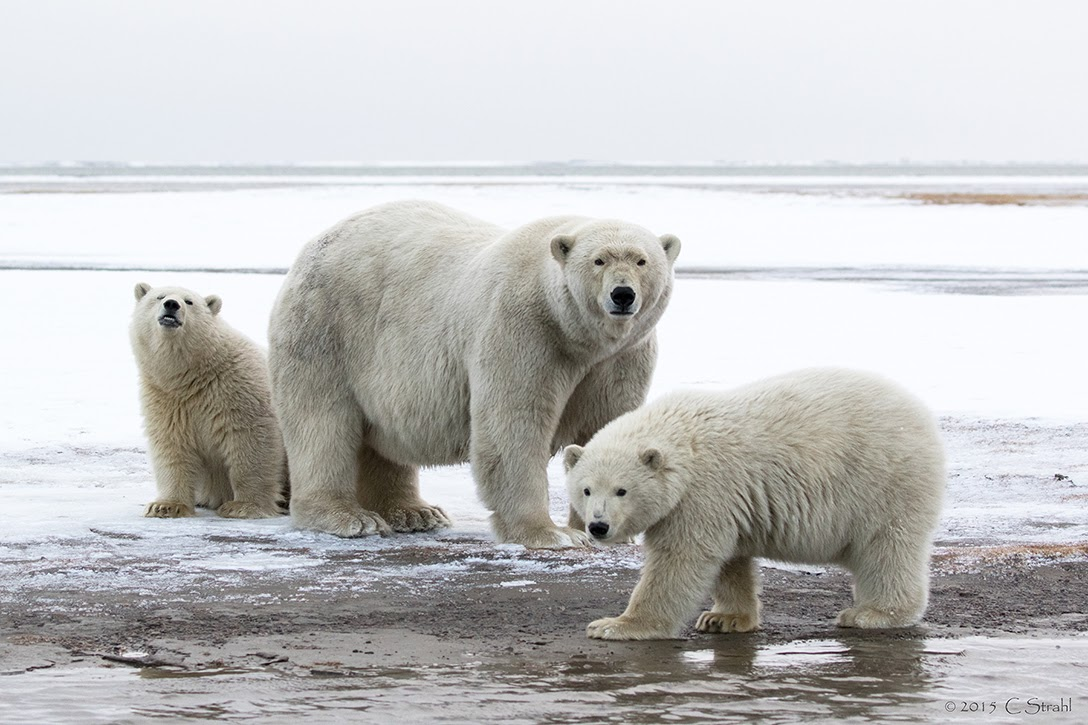 Polar bears, Barter Island