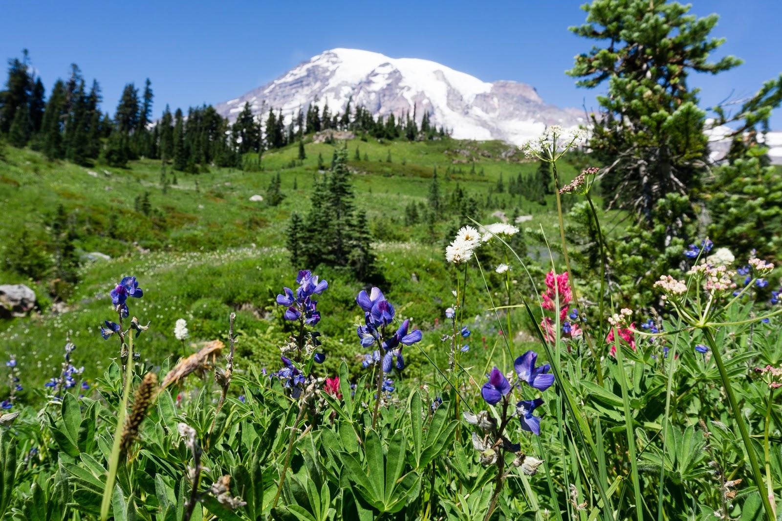 wildflowers, meadows, Mount Rainier