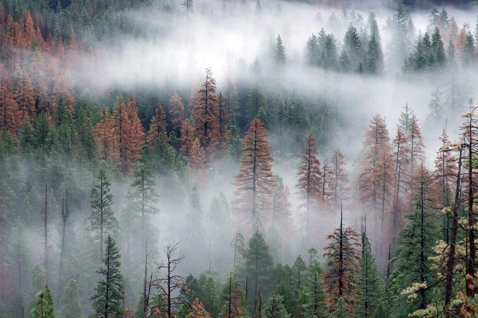 Yosemite National Park, bark beetles