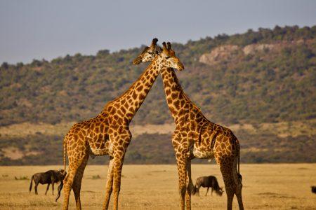 giraffe genome, evolution theories, human hypertension therapy