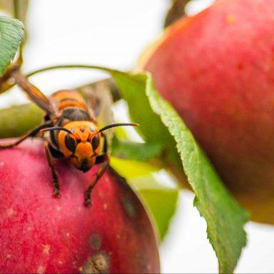 Scientists Eradicate First Murder Hornet Nest Found in US