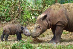 endangered Sumatran rhinos, genetic study, good news, genetic diversity
