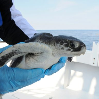 Effort to Rescue Endangered Turtles Becomes a Thanksgiving Odyssey