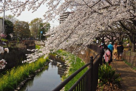 cherry blossoms, Japan, climate change, earliest bloom
