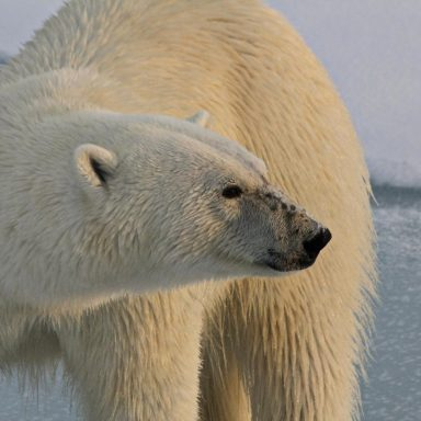 No, Polar Bears Do Not Live In Antarctica. But Could They?