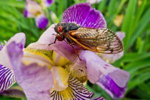 cicadas, Brood X, imminent emergence, 15 states, natural phenomenon