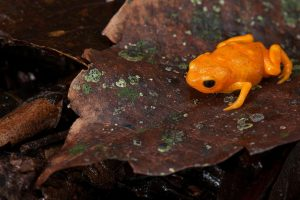 new species, pumpkin toadlet, Brazil, biodiversity, deforestation