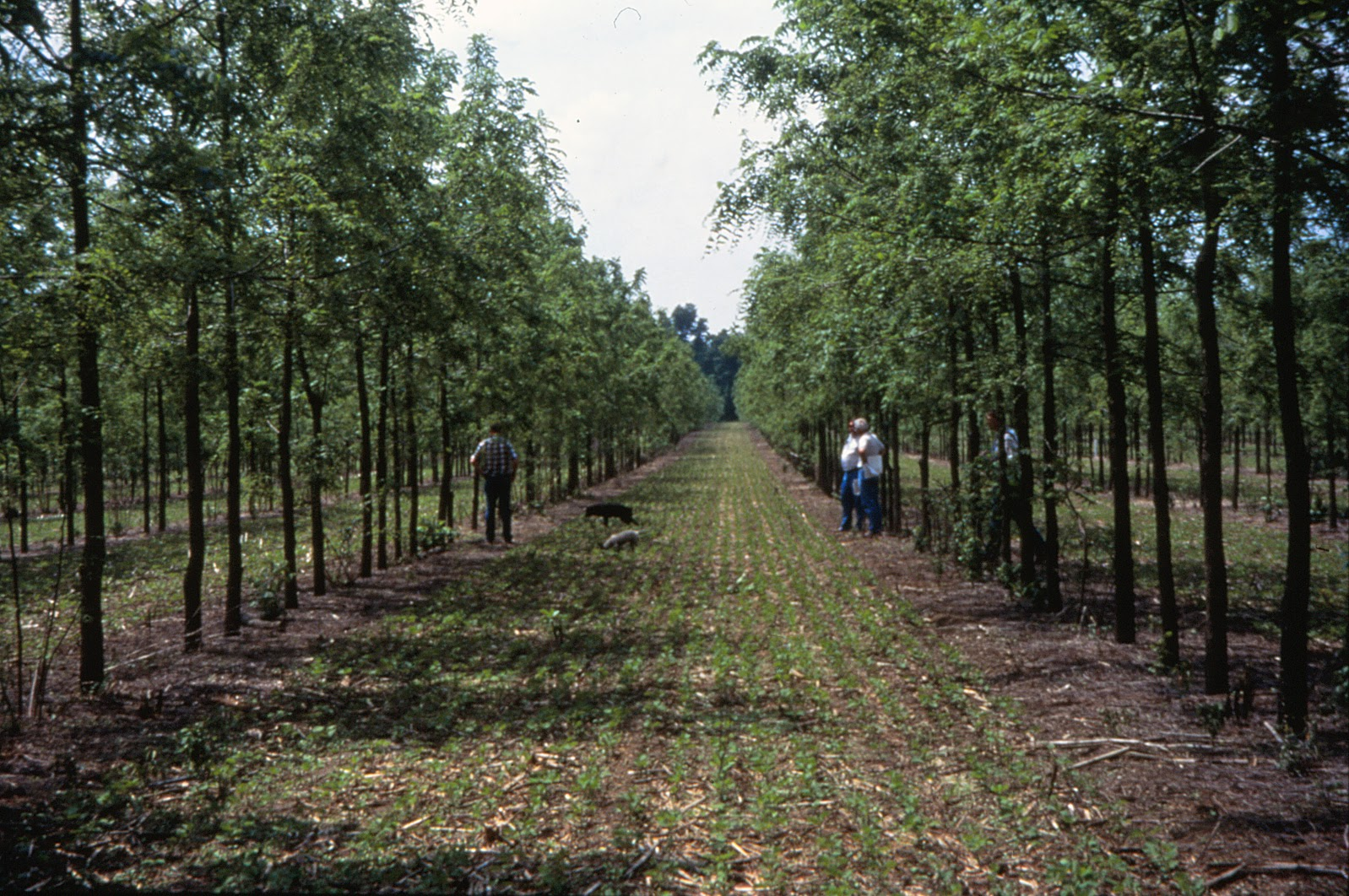 co-planting, soybeans, walnut trees
