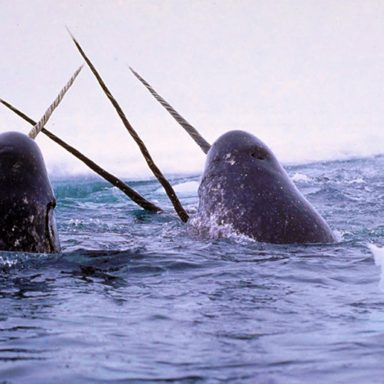 Narwhal Tusks Record Changes in the Marine Arctic