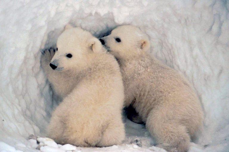 Polar bear, cubs, den