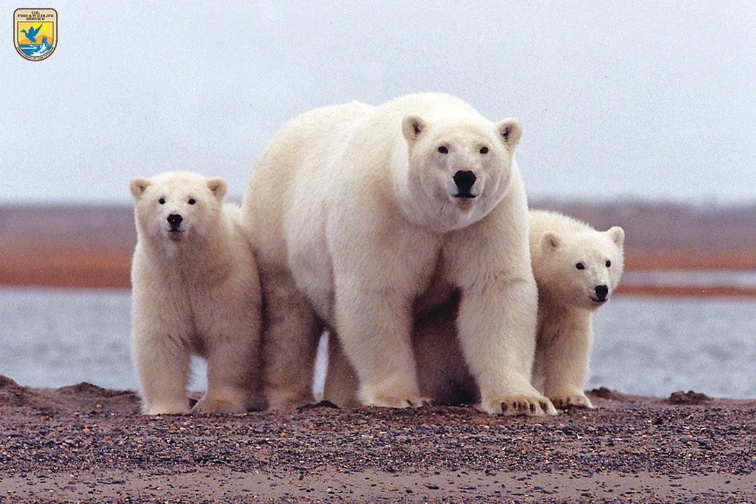 Polar Bears, Beaufort Sea