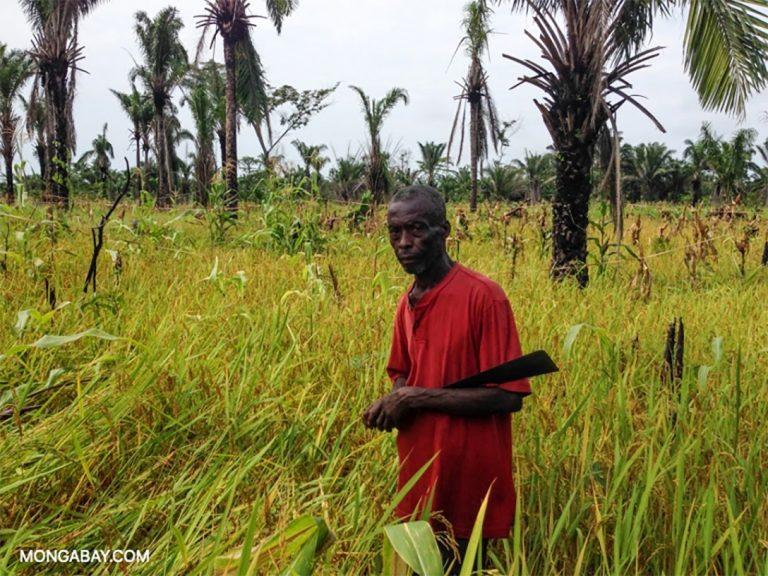 rice field, Congo