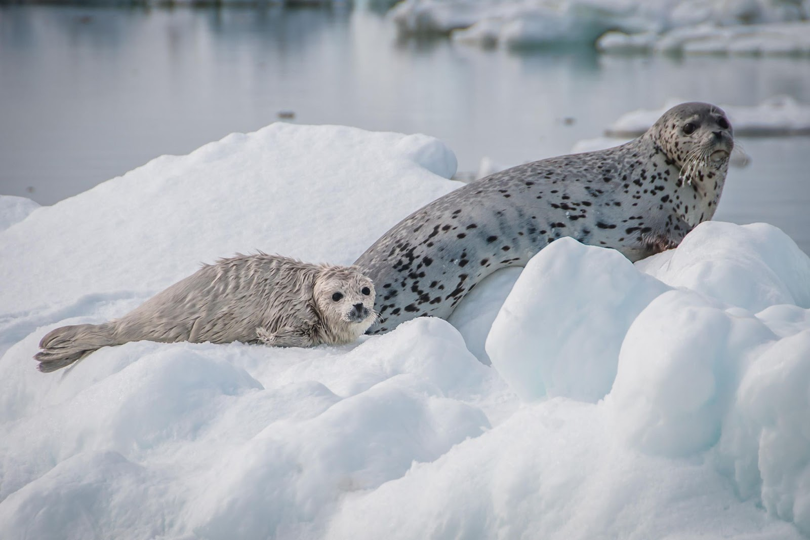 Spotted seal, mother, pup, Bering Sea