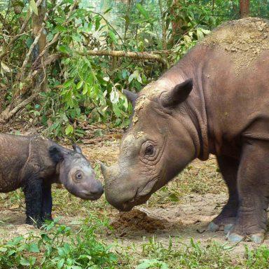Genetic Study Offers Good News for Endangered Sumatran Rhinoceros